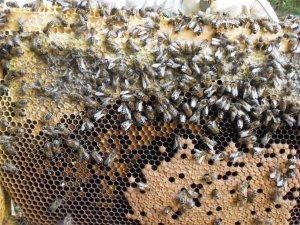 Life in the Main Hive:  You would never know this was a hive we had left for dead at the beginning of June