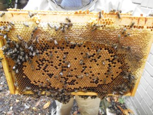Life in the Second Hive: Winter Bee Baby Pictures, sort of