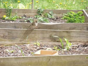 She's so cute!  Miss Thing side-stepping it across the raised bed