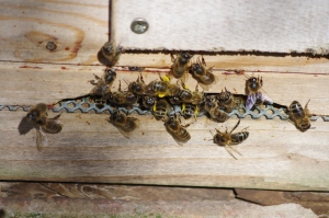 Bees, in warmer days