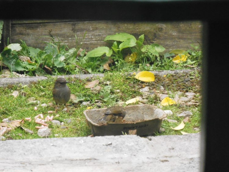 Huh? What's  this kid doing standing on the worms? (thinks the Dunnock)