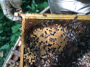 Main Hive: Well, there is brood in various stages, but not a heck of a lot