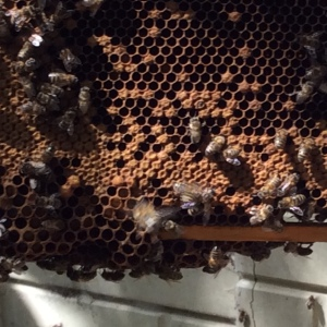 Garage Bees: No obvious problems, but we only managed to look at a few frames