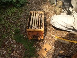 Bees_Swarm4_May05