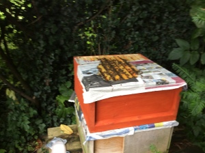 Between the honey super and the top brood box (was the nuc/not a third hive)