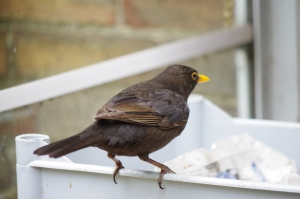 Boss Boy at his command post:  you can see from his wing and undercarriage markings that he is a male still in his first year. He is the only blackbird 'allowed' in the conservatory...for now