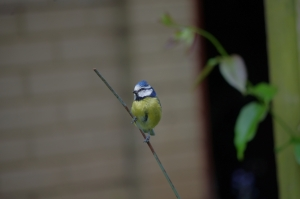 Forming an orderly queue outside the conservatory: they may look cuddly, but blue tits are ruthless around food. I have seen them scare off bigger birds, heading for them feet first.