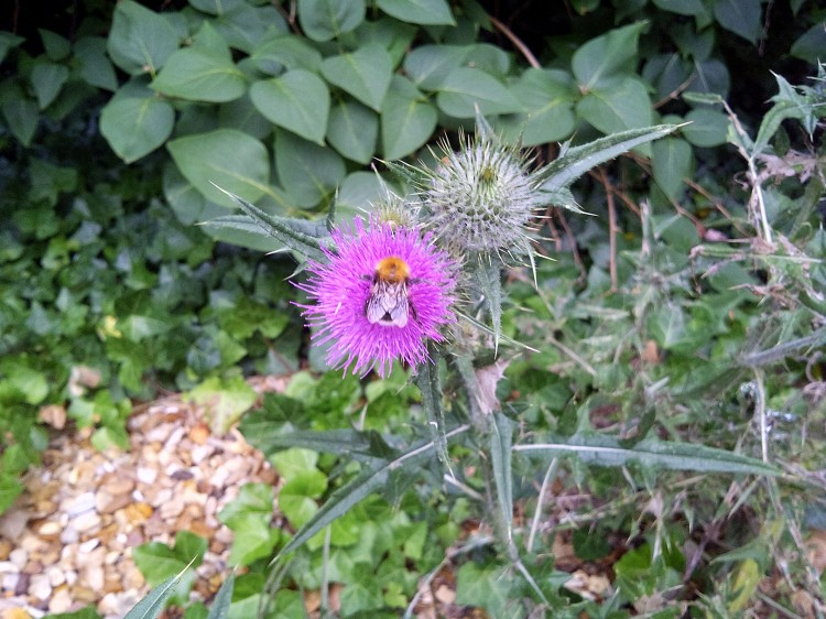 thistle in drive_bumbles like it