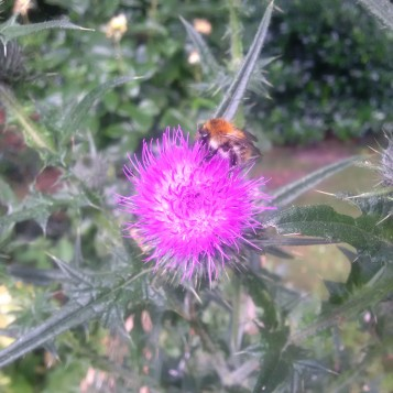 Bees at thistle_0717
