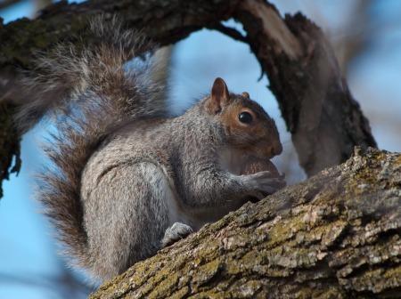 grey_squirrel_400px
