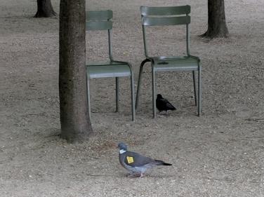 Pigeon in Paris May 2018