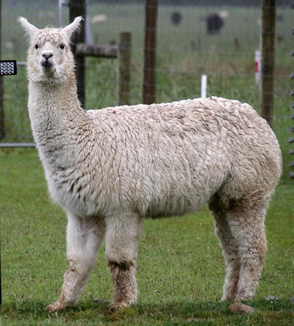 alpaca_283156232970129